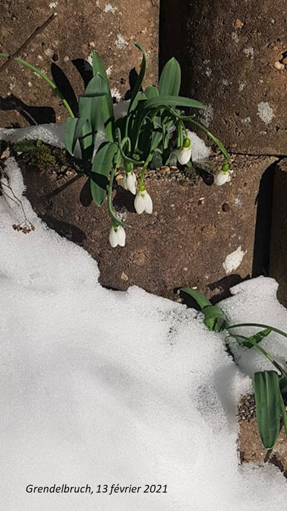 perce neige